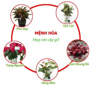 menh hoa hop cay gi